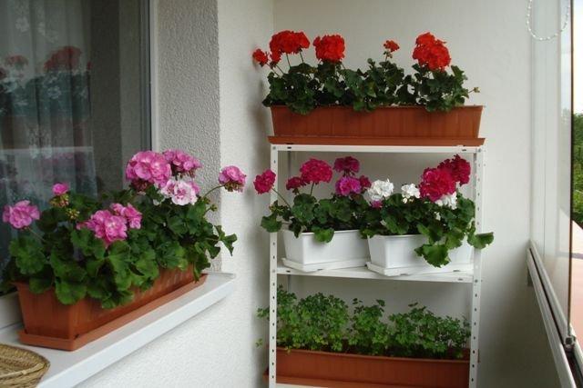 На балконе eщё стоит цветок герани...