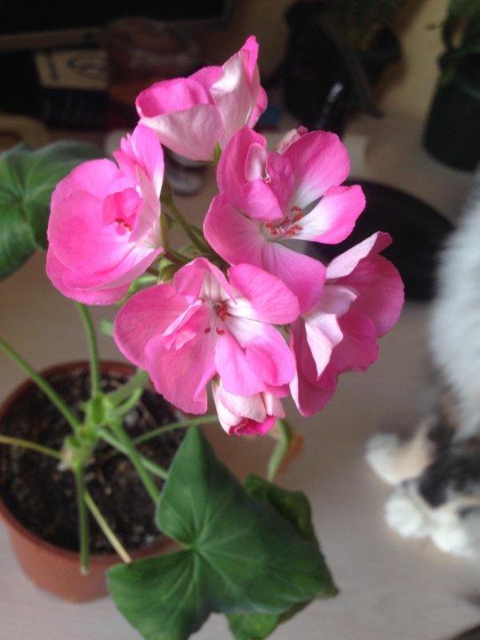 Герань (пеларгония) розовая с белой серединкой 2