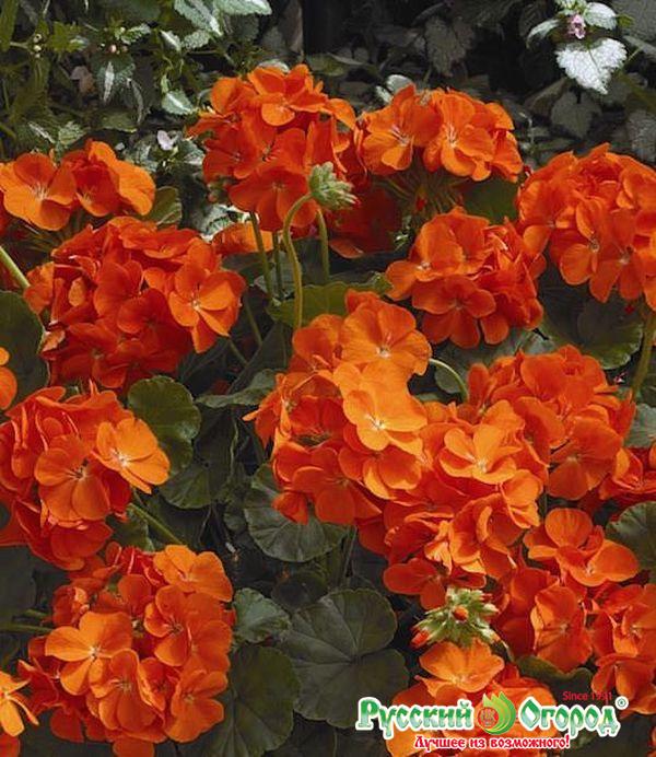 Герань (пеларгония) Maverick Orange F1