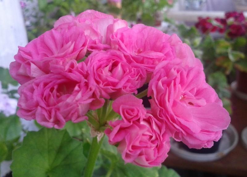 Герань (пеларгония) сиренево-розовая махровая